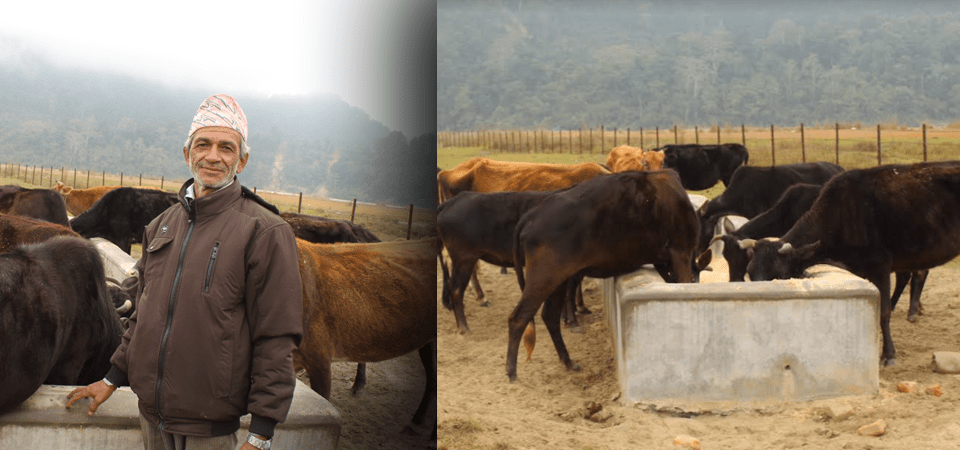 Elderly Sapkota Taking Care Of Old, Abandoned Cattle