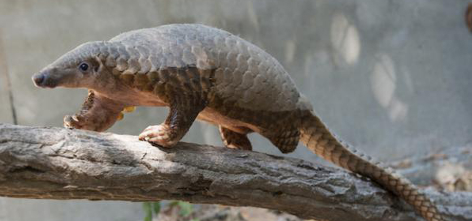 Pangolins Being Poached For Scales